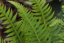 Fantastic Ferns / Our comprehensive collection of native and non-native ferns includes 21 reliable varieties from Adiantum to Woodwardia! Healthy, actively growing ferns are available in husky LP32 trays from April through July.