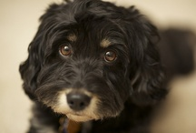 Schnoodle / Dedicated to my black schnauzer poodle Colbie