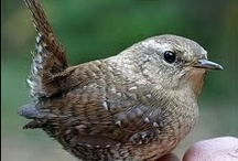 Wrens / Wonder why I've created a board for all things Wren!