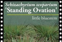 Schizachyrium 'Standing Ovation' PPAF / Let's hear a round of applause for North Creek's very own little bluestem, 'Standing Ovation'! Gorgeous in every season and won't flop, even in rich soils.