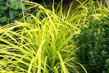 Gorgeous Grasses / We've got a range of ornamental grasses & sedges to cover any site!