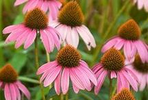 Exceptional Echinacea / Crazy for coneflowers? We are, too! We've got a full spectrum of color of these garden staples.