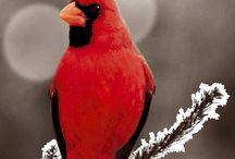 Cardinals ❤️️