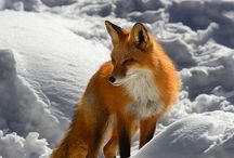 Fox / by Fiona Bowtrycle