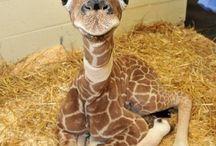 Giraffe lover!! / by Denise Reish