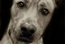 Fur / No creature on our planet shows us the pure, unconditional love a dog relentlessly pursues us with, not even our own kind. / by Sandra Thais Collie-Wise