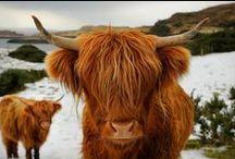 Hippie cows AKA Highland cattle / by tigrushka