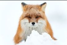 Foxes / All things Fox.