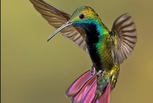 Amazing Hummingbirds / by Janet Trautman