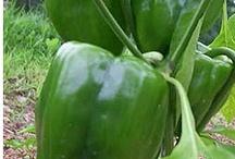 Vegetable Gardening / by Julie Andersen