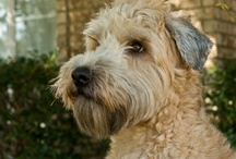 Dogs- A Man's best friend!  / Dogs are amazing companions!  We miss our Wheaten Terrier, Bernie!