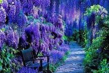 """Wisteria ❦ Breath-taking blooms / """"Wisteria woke me this morning,  And there was all June in the garden;  I felt them, early, warning  Lest I miss any part of the day.   Straight I walked to the trellis vine.  Wisteria touched a lifted nostril:  Feelings of beauty diffused, to entwine  My spirit with June's own aura.""""   (Summons by Ann McGough) / by Quiet ✶ Thoughtz"""