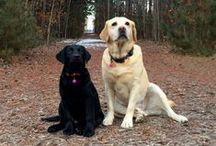 Lovable Labradors / Loveable Labs / by Anne Morel