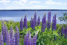 Flowers Lupin