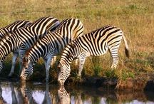 Around the World   Southern Africa / Safari Destinations in South Africa, Botswana, Zambia, and Zimbabwe / by Shana Brennan