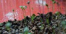 Semis mix succulentes 2016 / Semis graines mix succulentes sous lampe. Graines planter le 28 octobre 2016. Graines germées à J+1 (hyper rapide).