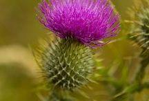 Scottish - pride