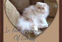 Persian kitties make my heart skip a beat (& exotics) !!! / by Vonnie