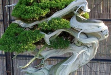 Bonsai!!  / by ~allthingsshabby~