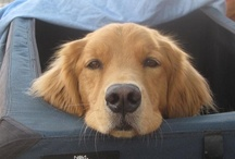 For the Love of Goldens