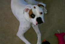 Boxer Love / Dedicated to my little Riley (my white boxer) / by Christine Marting
