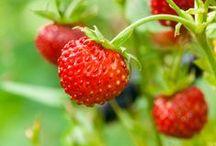 Berries in Sweden / In Sweden we have the best berries.