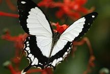 Butterflies & Moths / Beautiful, inspiring, sweet, cute, interesting, or funny photographs about butterflies and moths. / by CuriositiesByDickens | Janet Dickens
