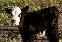 Bovine Babies / by Amy Greving