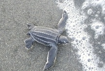 Volunteer With Sea Turtles / We're a non-profit project that connects volunteers with sea turtle conservation projects in places that need the support most.  We are currently partnered with projects in Costa Rica, Panama, Mexico, Guatemala, El Salvador, Nicaragua and Uruguay.  For more information about becoming a volunteer:  www.seeturtles.org/663/volunteer.html