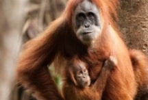 SEE Primates