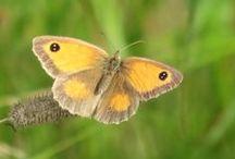 Vlinders / Vlinders die ik vanaf 2014 in het echie heb gezien. (De gefotografeerde vlinders dan...)