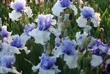 Plants (Iris) / by Odette Paris