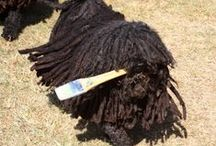 Hungarian Puli Puppies and Their Dreads / My crazy hungarian pulis