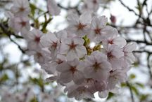 Cherry Blossoms / Cherry Blossoms or Sakura are beautiful and the highlight of spring in Japan / by Japan Australia