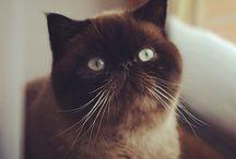 Anfisa / exotic short hair cat #Anfisa_the_cat