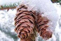 Pine Cones. Pinecones.  All Cones.
