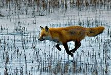 Like A Fox On The Run / Foxes. One of my favorite animals.