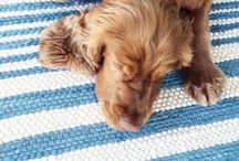 F L O Y D / My Golden Cocker Spaniel Floyd! 10/2/14 #dog #cockerspaniel