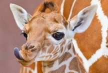 Giraffes.  / I LOVE giraffes. Therefore they need their own board. / by Cindy Crockett