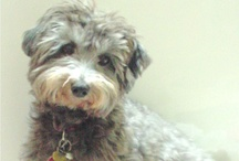 Gotta Luv a Zander / Zander - the cutest little Havanese around! / by Sharla Miller