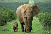I  love Elephants  / by Melissa Kozniacki