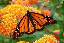 Pollinators First / One of the best things about gardens full of flowering plants, is the nonstop parade of pollinators!