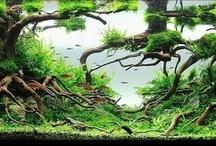 Aquascapes / Planted aquarium set ups (mostly freshwater) that I love.  / by Jennifer Campbell