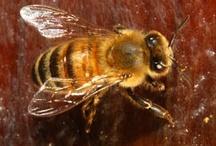 Bees / by Linda Humphrey