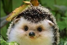 Hedgehogs, Hedgehogs Everywhere! / Yes, we have a hedgehog. And I'm a little addicted.