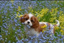 """CAVAN CAVALIERS & FRIENDS / Cavalier King Charles Spaniels """"Cavaliers are like chips you can't have just 1"""""""