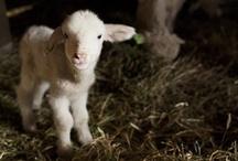 Lambing Season  / by Alberta Veterinary Medical Association