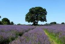 lilac + lavender