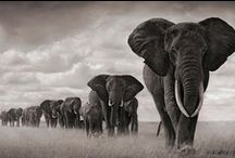 Elephant Envy / Love will draw an elephant through a key-hole. ~ Samuel Richardson  / by Gigi Stoll
