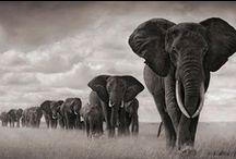 Elephant Envy / Love will draw an elephant through a key-hole. ~ Samuel Richardson  / by Gigi Stoll